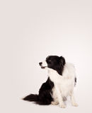 Nettes border collie mit Kopienraum Stockfotografie