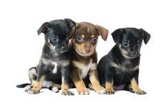 Nettes braun und schwarzer Welpe der Chihuahua zwei Lizenzfreie Stockbilder