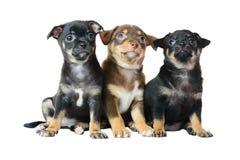 Nettes braun und schwarzer Welpe der Chihuahua zwei, Lizenzfreie Stockbilder