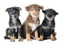 Nettes braun und schwarzer Welpe der Chihuahua zwei Stockfoto
