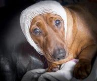 Nettes Braun verletzte Dachshundhund mit weißem Verband um sein h Lizenzfreie Stockfotografie