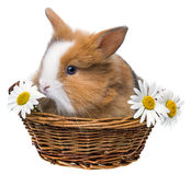 Nettes braunes Kaninchen stockfoto