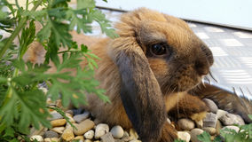 Nettes braunes Kaninchen Stockbilder