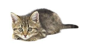 Nettes Braunkätzchen der getigerten Katze, das direkt zur Kamera lokalisiert auf Weiß liegt und schaut Kindertiere und entzückend stockfotografie