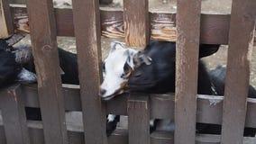 Nettes brindled Kalb, das seinen Hauptabflussrinnenzaun auf einem Bauernhof drückt stock video