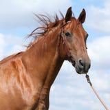 Nettes Budyonny-Pferd, das auf Wiese steht Lizenzfreies Stockfoto