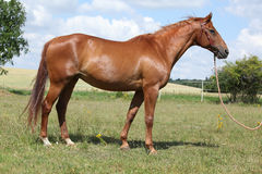 Nettes Budyonny-Pferd, das auf Wiese steht Stockfotos