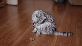 Nettes Cat Playing With Toy At-Haus, liegend auf dem Boden stock video footage
