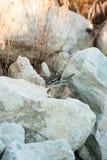 Nettes chipmank auf den Felsen auf der Dämmerung Lizenzfreie Stockbilder