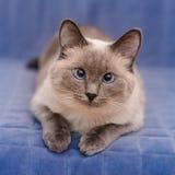 Nettes colorpoint blauäugige Katze, die Kamera liegt und betrachtet Stockfoto