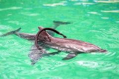 Nettes Delphinschwimmen durch Ring im Pool stockbilder