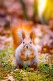 Nettes Eichhörnchen Stockfotografie