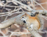 Nettes Eichhörnchen Stockfoto