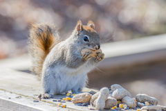 Nettes Eichhörnchen Lizenzfreies Stockbild