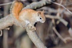Nettes Eichhörnchen Stockfotos