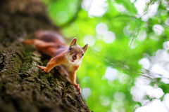Nettes Eichhörnchen auf Baum Lizenzfreie Stockfotos