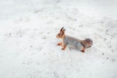 Nettes Eichhörnchen auf dem Schnee Lizenzfreie Stockfotografie