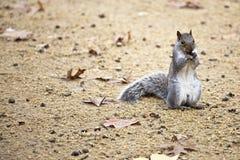Nettes Eichhörnchen, das eine Mutter isst. lizenzfreies stockbild