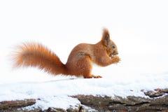 Nettes Eichhörnchen, das eine Nuss auf dem Schnee hält Lizenzfreie Stockbilder