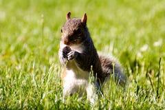 Nettes Eichhörnchen, das im Gras isst stockfotografie