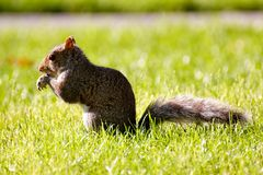 Nettes Eichhörnchen, das im Gras isst stockfoto