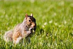 Nettes Eichhörnchen, das im Gras isst lizenzfreie stockfotografie