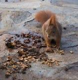 Nettes Eichhörnchen, das Walnüsse isst stockfotografie