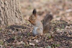 Nettes Eichhörnchen isst eine Eichel auf hinteren Tatzen lizenzfreie stockfotos