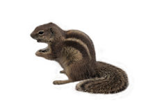 Nettes Eichhörnchen vor weißem Hintergrund Lizenzfreie Stockbilder