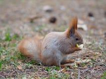 Nettes Eichhörnchen, welches die Apfelfrucht menschlich ähnlich isst und im Th aufwirft Stockfotografie