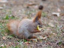 Nettes Eichhörnchen, welches die Apfelfrucht menschlich ähnlich isst und im Th aufwirft Lizenzfreie Stockfotos