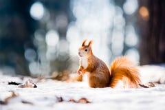 Nettes Eichhörnchen, das Winterszene mit nettem unscharfem Wald im Hintergrund betrachtet Stockfotos