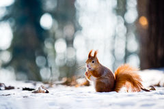 Nettes Eichhörnchen isst eine Nuss in der Winterszene Stockbild