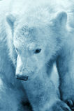 Nettes Eisbärjunges Stockfotos