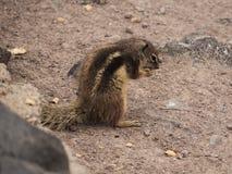 Nettes Esseneichhörnchen Stockfoto