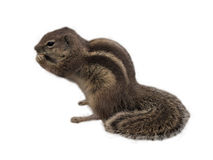 Nettes Esseneichhörnchen vor weißem Hintergrund Stockfotos