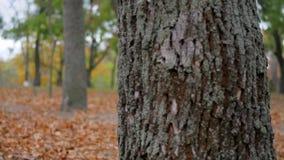 Nettes Fell des kleinen Jungen hinter einem großen Baum am Park, am Rest und am Weg im Wald im Herbst stock video