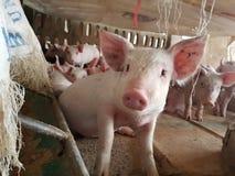 Nettes Ferkel im Bauernhof Lizenzfreies Stockfoto