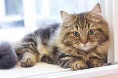 Nettes flaumiges Gesicht der Nahaufnahme der braunen persischen Katze Lizenzfreies Stockfoto