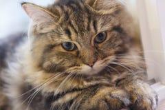 Nettes flaumiges Gesicht der Nahaufnahme der braunen persischen Katze Stockbilder