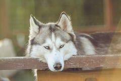 Nettes Freien des sibirischen Huskys, Hinterhof, summerhouse, goldene Stunde lizenzfreies stockbild