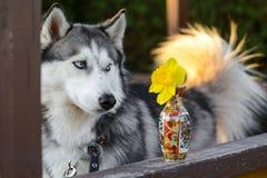 Nettes Freien des sibirischen Huskys, Hinterhof, summerhouse, goldene Stunde stockfotos