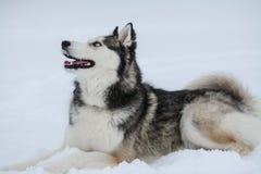 Nettes Freien des sibirischen Huskys, im Winter, viele Schnee, Frostwetter lizenzfreie stockbilder