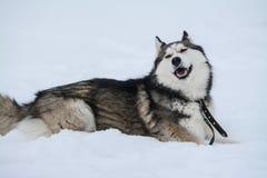 Nettes Freien des sibirischen Huskys, im Winter, viele Schnee, Frostwetter lizenzfreies stockfoto