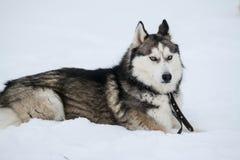Nettes Freien des sibirischen Huskys, im Winter, viele Schnee, Frostwetter lizenzfreie stockfotos