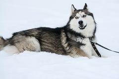 Nettes Freien des sibirischen Huskys, im Winter, viele Schnee, Frostwetter stockfotos