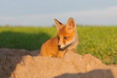 Nettes Fuchsjunges Lizenzfreie Stockfotos