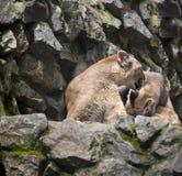 Nettes Gebirgslöwin Puma concolor auch allgemein bekannt als der Puma, der Berglöwe, der Panther oder der Catamount und das Kätzc stockbilder