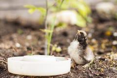 Nettes gelbes Hühnertrinkwasser Lizenzfreie Stockfotos
