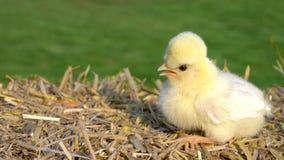 Nettes gelbes K?ken, Baby Polen-Huhn, sitzend auf einem Heuballen drau?en im goldenen Sommersonnenschein stock footage